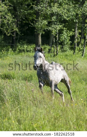 Beautiful grey arabian horse runs in a meadow