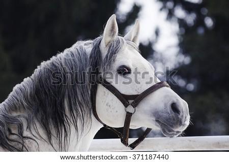 Beautiful grey Arabian stallion portrait in winter - stock photo