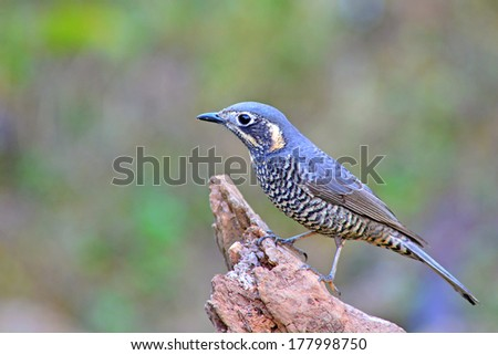 Beautiful grey bird, female Chestnut-bellied Rock-Thrush (Monticola rufiventris), standing on the log, breast and side profile