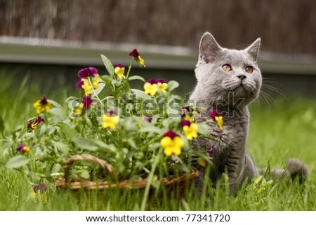 Beautiful grey british in flowers - stock photo