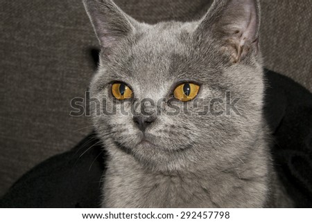Beautiful grey british shorthair kitten with adorable orange coloured eyes (love, pet background)