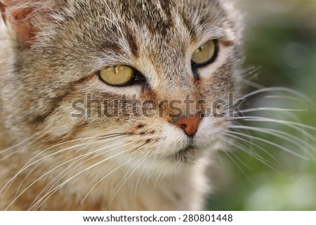 Beautiful grey brown color wild outdoor cat with yellow green eyes in close in countryside home garden in summer season - stock photo