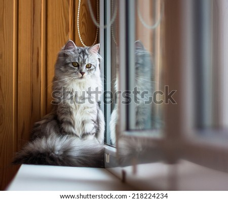 Beautiful grey cat looking to a window  - stock photo