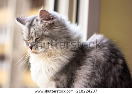 Beautiful grey cat sitting on a windowsill and looking to a window