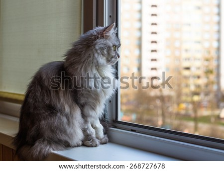 Beautiful grey cat sitting on windowsill and looking out of a window  - stock photo