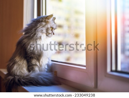 Beautiful grey cat sitting on windowsill and looking to a window  - stock photo