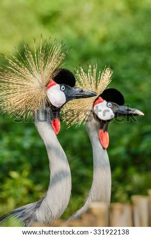 Beautiful Grey Crowned Crane close up - stock photo