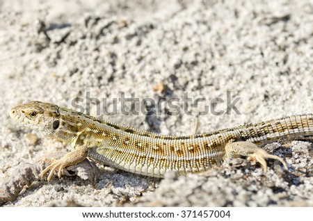 Beautiful grey lizard pose and sand in the wild/Lizard/Lizard in the wild, Ukraine - stock photo
