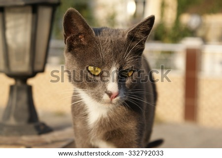 Beautiful grey pussycat with light yellow eyes in front of the street lamp. Cat portrait.