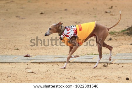 Beautiful Greyhound dog wearing coats in the winter  and running on grass at the park in Hong Kong on 8 Feb 2018