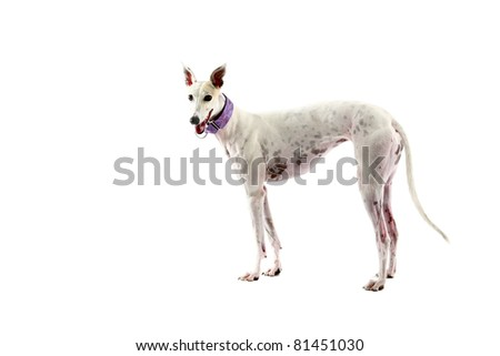 beautiful greyhound dogs rescued through a dog rescue group after they no longer want to race on the track. isolated on white with room for your text