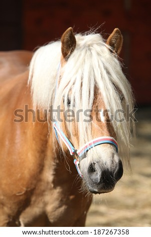 Beautiful haflinger with colorfull halter in paddock