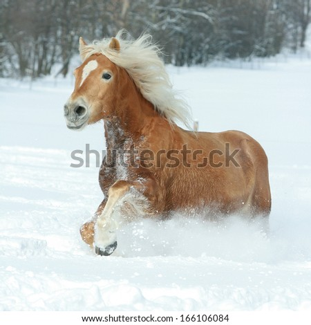 Beautiful haflinger with long blond mane running in the snow - stock photo