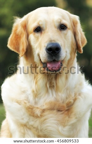 Beautiful happy dog Golden Retriever in the summer outdoors, looking at camera, closeup portrait