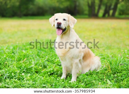 Beautiful happy Golden Retriever dog sitting on grass in summer park