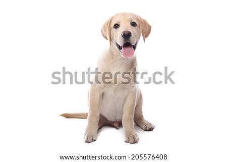 Beautiful happy labrador - stock photo