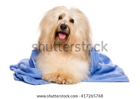 Beautiful happy reddish havanese dog after bath is lying wrapped in a blue towel and keeps his head at an angle, isolated on white background