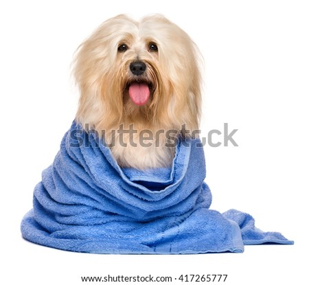 Beautiful happy reddish havanese dog after bath is sitting wrapped in a blue towel and looking at camera, isolated on white background