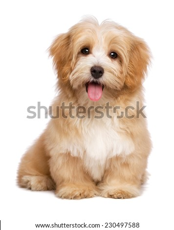 Beautiful happy reddish havanese puppy dog is sitting frontal and looking at camera, isolated on white background - stock photo