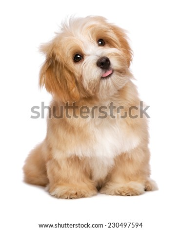 Beautiful happy reddish havanese puppy dog is sitting frontal and looking upward, isolated on white background - stock photo