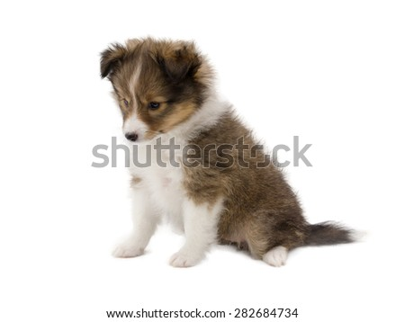 Beautiful happy sheltie puppy dog is sitting frontal and looking at camera, isolated on white background - stock photo