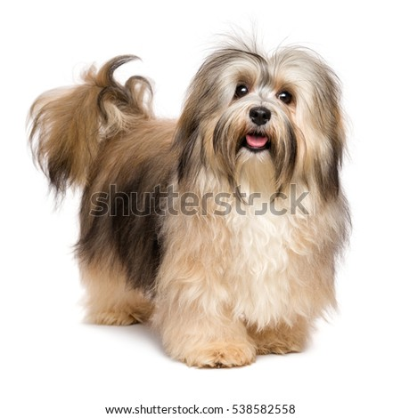 Beautiful happy young Bichon Havanese dog is standing and looking at camera - isolated on white background