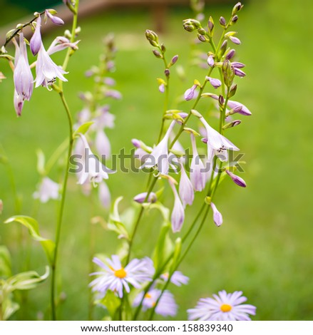 Beautiful  harebell or campanula on a nature background with shallow depth of field - stock photo