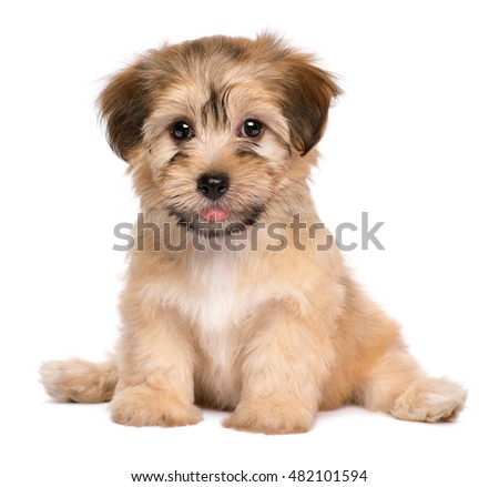 Beautiful havanese puppy dog is sitting frontal and looking at camera, isolated on white background
