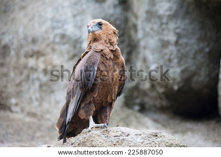 beautiful hawk on  background of stones - stock photo