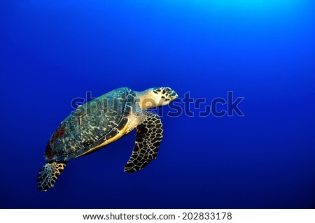 Beautiful Hawksbill Turtle in the blue, Grand Cayman - stock photo