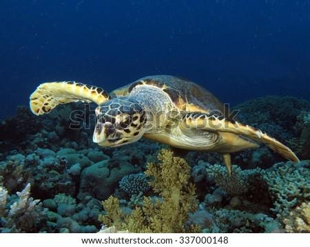 Beautiful hawksbill turtle portrait - stock photo