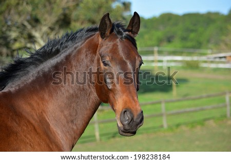 Beautiful head portrait of a purebred Hanoverian bay horse with attentive facial expression standing on the paddock outdoors. - stock photo