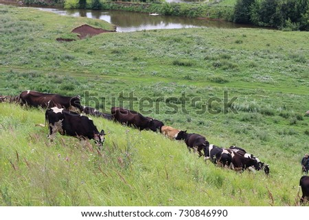 beautiful healthy cows graze in a landscape area. The cow is resting. Bright and juicy rustic landscape with cattle. Feeding and farming of farm animals