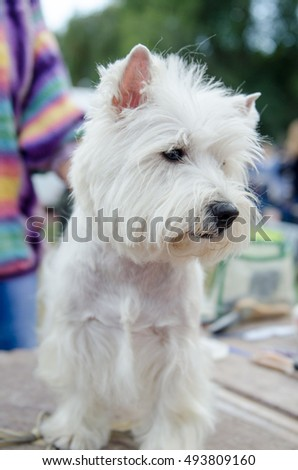 Beautiful healthy dog West Highland White Terrier is preparing for the exhibition, sitting near the host.