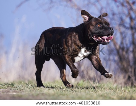 beautiful, healthy, young, witty, hilarious American Staffordshire Terrier dog or puppy running, flying and jumping on path outdoors in nature, spring season, blue sky