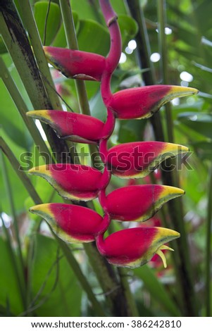 Beautiful Heliconia flower blooming in vivid colors - stock photo