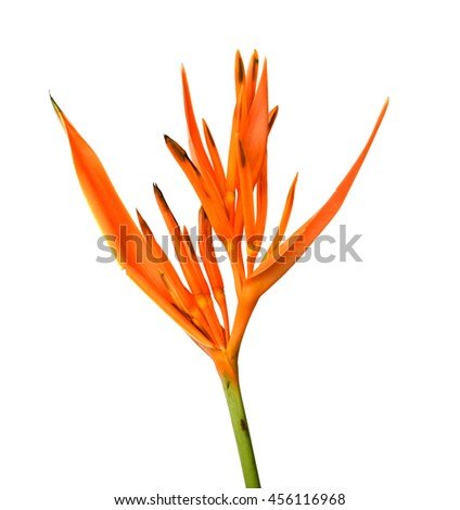 Beautiful Heliconia flower blooming on isolate white background. - stock photo