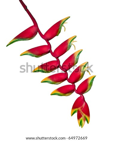 Beautiful Heliconia found on the Big Island of Hawaii isolated on white background. - stock photo