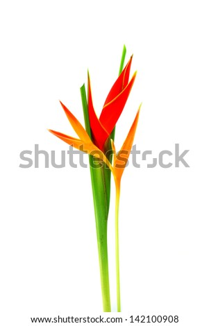 """Beautiful Heliconia  H stricta Huber """"Fire Bird""""  blooming on isolate white background. - stock photo"""