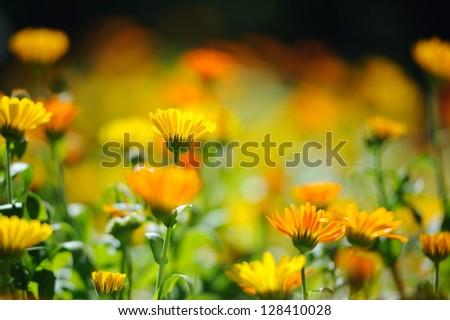 Beautiful herbal calendula field in spring time with sun rays - stock photo