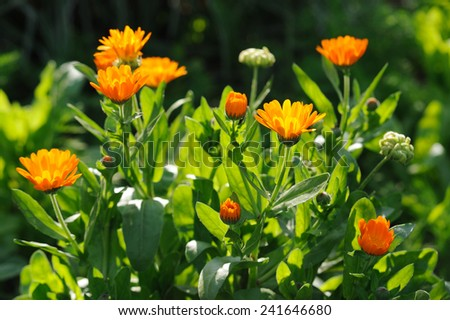 Beautiful herbal calendula field in spring time with sun rays - stock photo