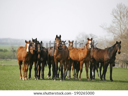 Beautiful herd of thoroughbred horses in pasture. Purebred racing horses on the meadow - stock photo