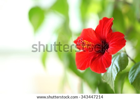 Beautiful hibiscus flower on nature background - stock photo