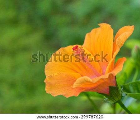 beautiful Hibiscus rosa-sinensis ,shoe flower orange at park ,garden ,forest - stock photo