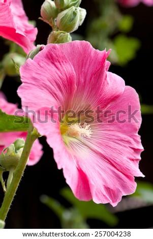 Beautiful Hollyhock, Mallow, in the garden. - stock photo