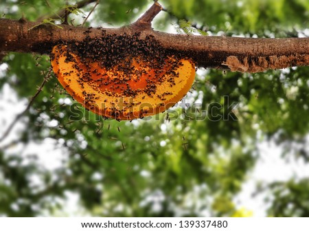 Beautiful honeybee hive being newly built by worker bees. The picture shows wild worker honey bees building a new home on a tree branch using yellow orange beeswax - stock photo