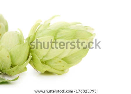 Beautiful hops. Isolated on a white background.