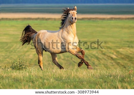 Beautiful horse running free. - stock photo