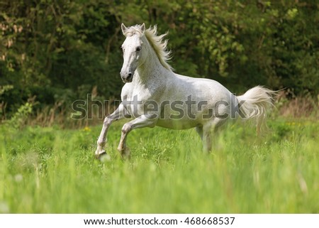 Beautiful horse running gallop.