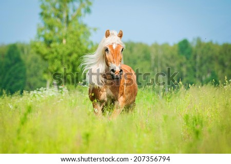 Beautiful horse with long mane running on the summer field - stock photo